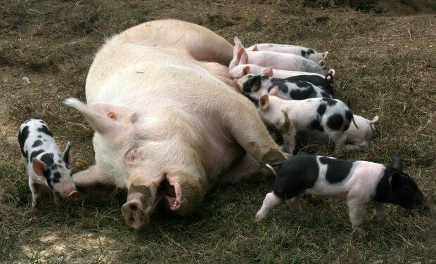 Pig virus poses no problems for our pork