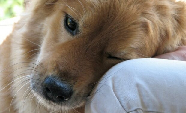 Dogs have a human emotional connection: study