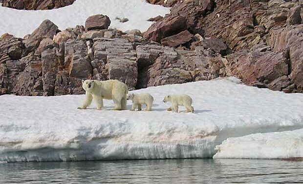 Polar bear population tracked by satellite images