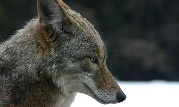 Coyote and Coywolf attacks are on the rise