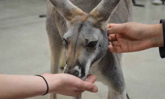 A kangaroo at Humber College?