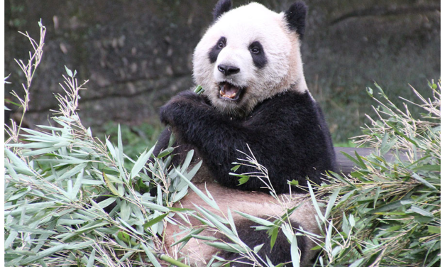 Panda-monium at the Toronto Zoo over birth of two cubs