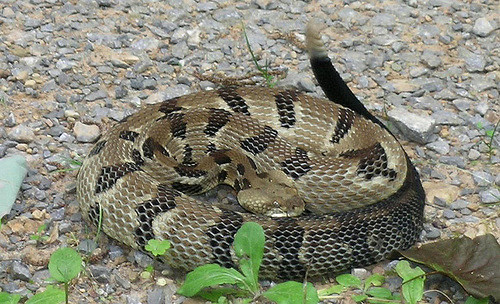 No fear of more venomous snakes in Ontario, says ROM expert