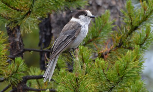 Gray Jay declared Canada's national bird in survey by magazine