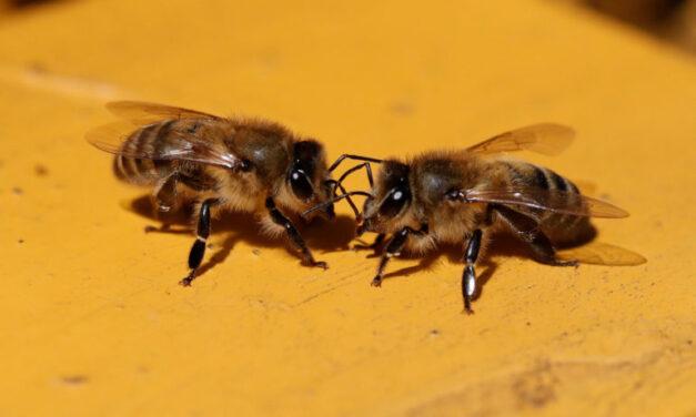 Ottawa phasing out bee killing pesticides — slowly
