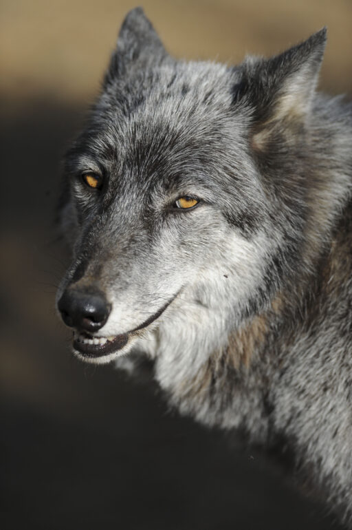 Predators similar to this wolf-dog at the Lockwood Animal Rescue Center, Frazier Park, CA. are facing painful deaths in Canada's wilderness.