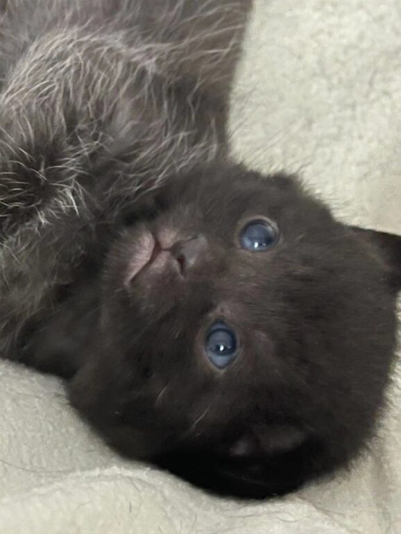 Kitten rescued by Mississauga Humane Society. Their mother gave birth at the vet clinic 2 days after being trapped