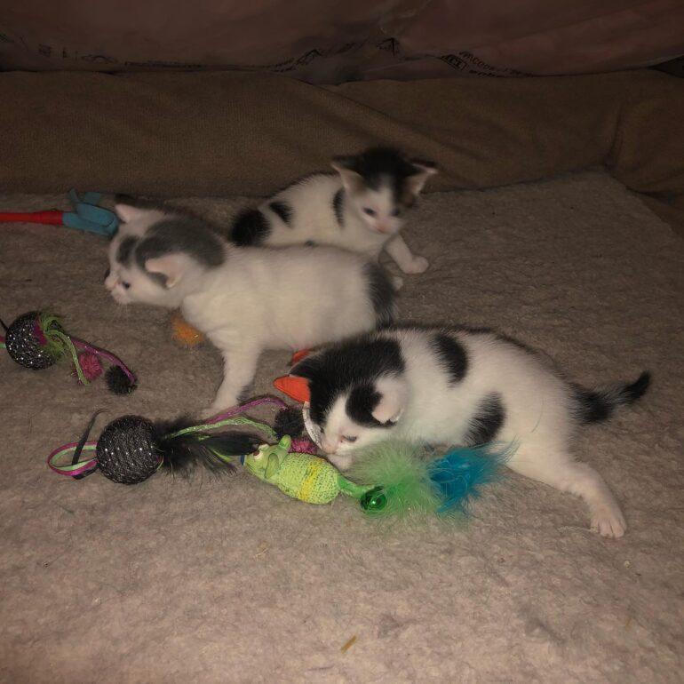 Black, white, and grey kittens playing together.