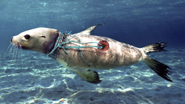 A seal has plastic debris stuck on its neck, pinching and wounding the animal.
